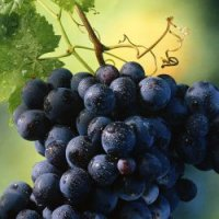Виноград – символ плодородия
